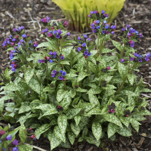 This is a Lungwort plant